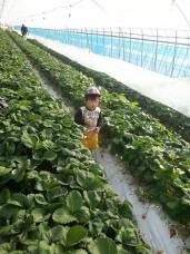 いちご収穫