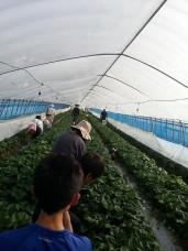 イチゴ収穫